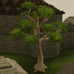 Árvore de mogno